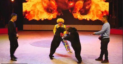 Circo na China obrigada animais a lutar para entreter platéia