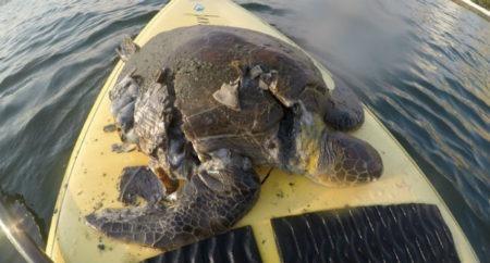 tartaruga morta santos