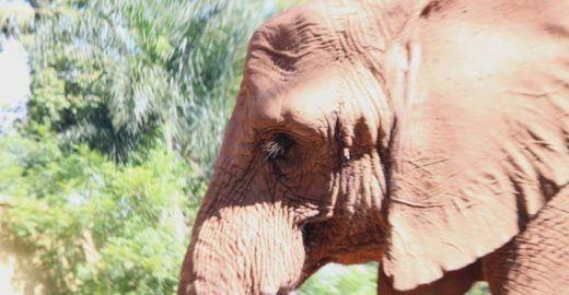 Elefanta Teresita morre no zoo de SP após anos de sofrimento