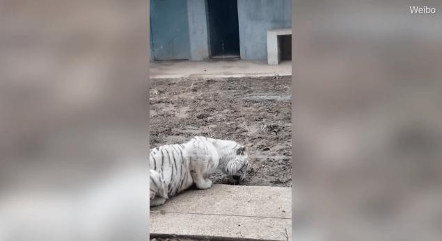 tigre branco em zoológico