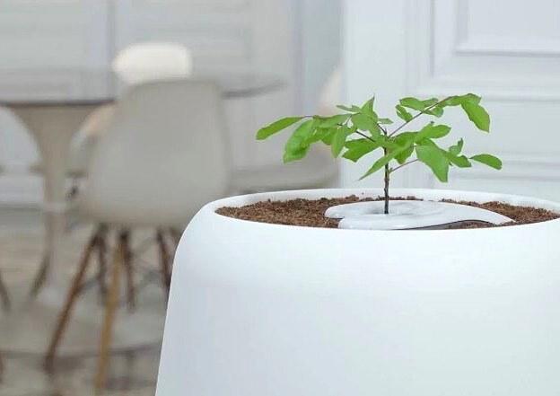 A urna ecológica utiliza as cinzas para dar vida a uma árvore