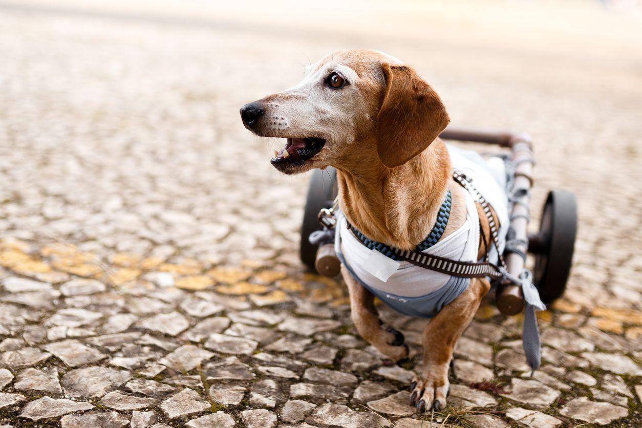 cachorro na cadeira de rodinhas