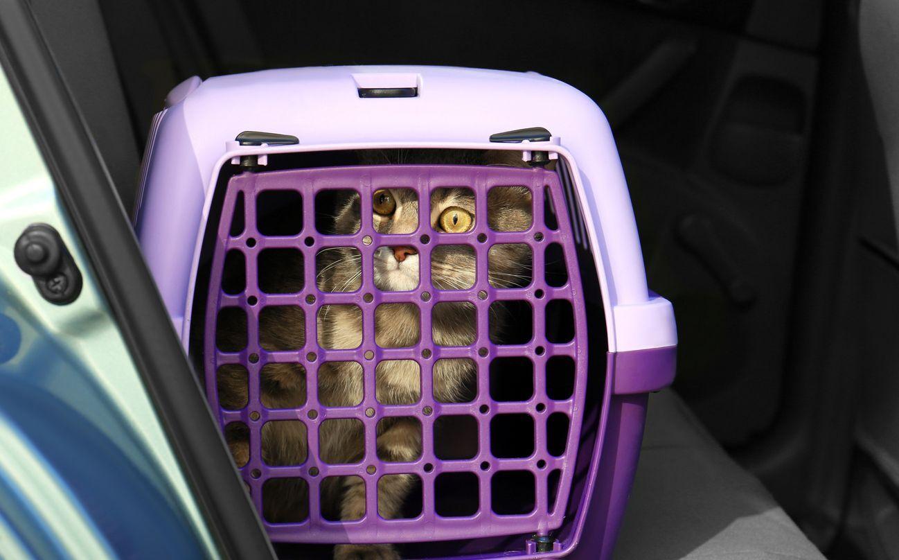 gatinho dentro da caixa de transporte