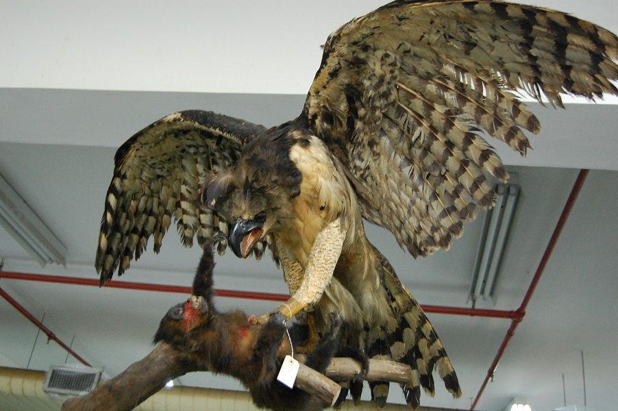 Harpia ou gavião-real - Exposição 'Museu Nacional Vive – Arqueologia do Resgate'