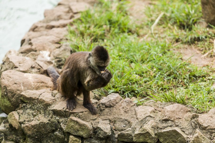 macaco febre amarela