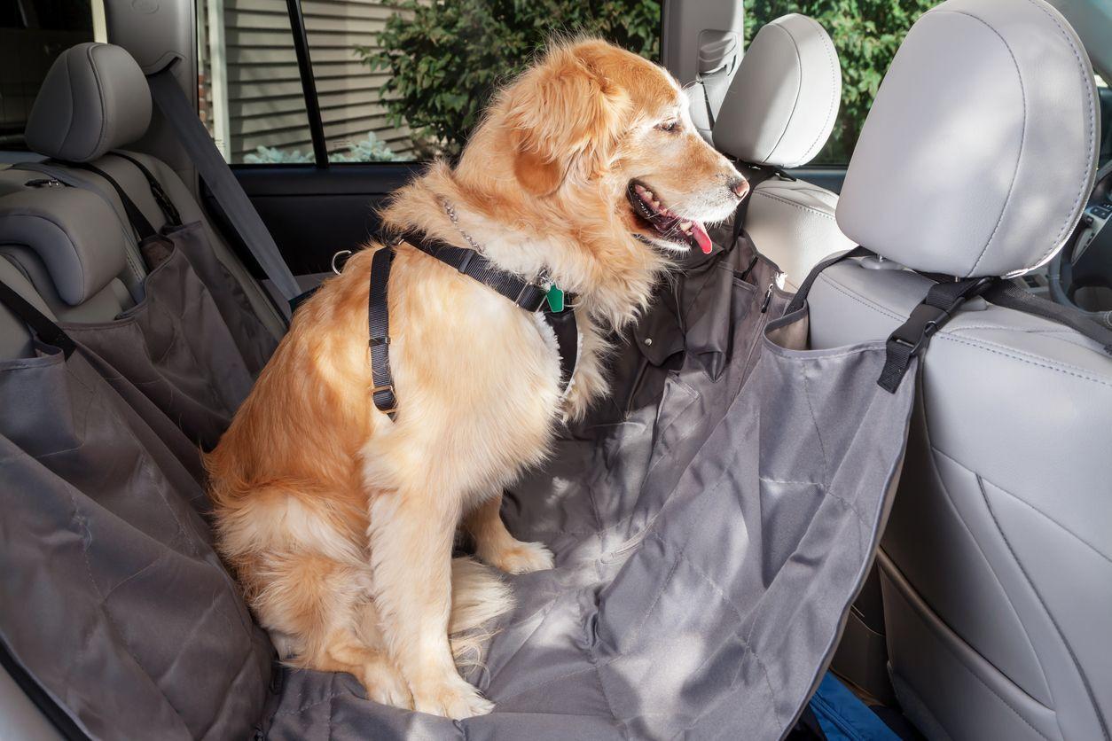cachorro com cinto peitoral no banco de trás do carro