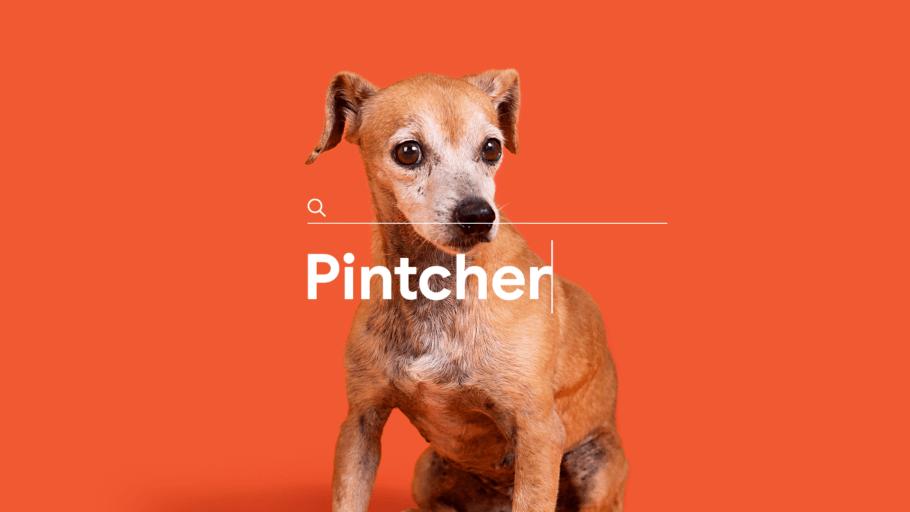 Pintcher, no caso, é um vira-latas para adoção