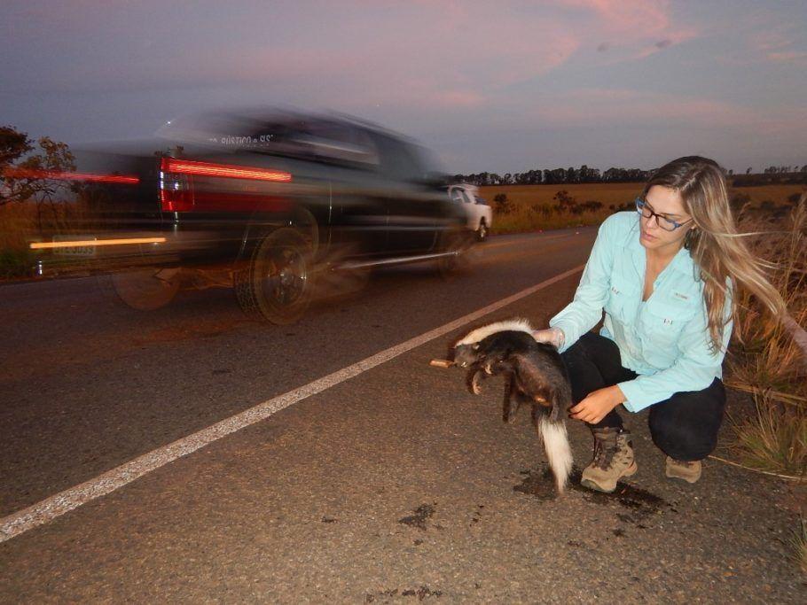 Fernanda Abra observa um Conepatus, parente do cangambá, em seu trabalho contra atropelamentos de animais