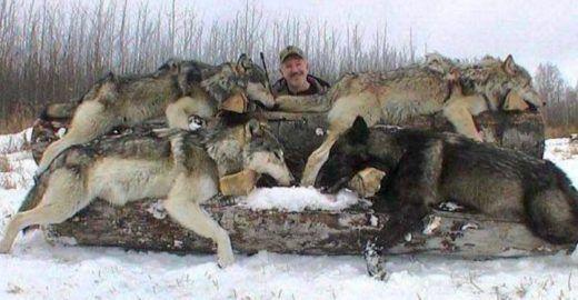 Concursos de caça pagam 500 dólares por cada animal morto