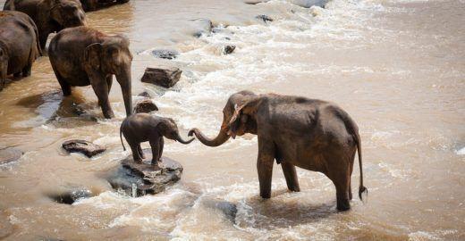 Filhotes de elefantes são aprisionados e vendidos para zoos