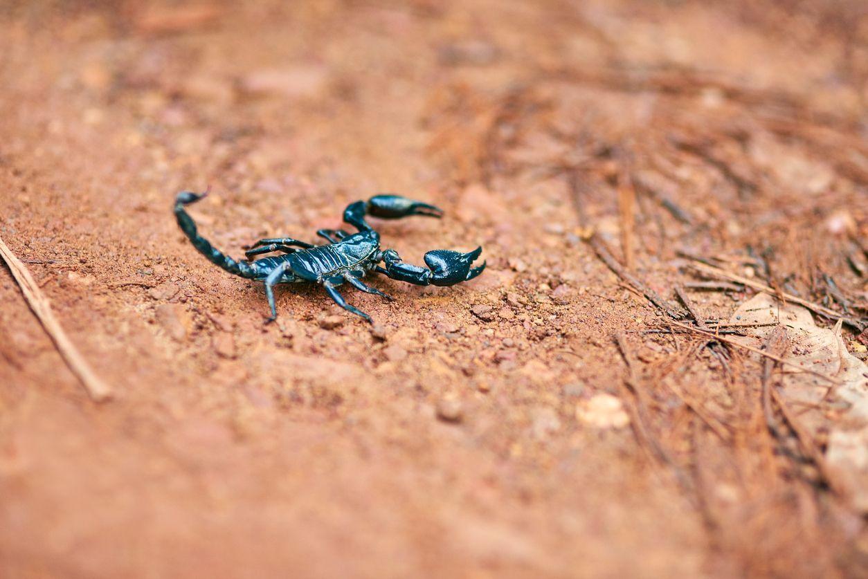escorpião no chão