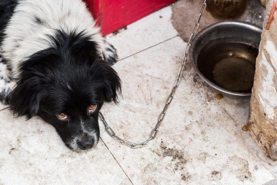 cachorro acorrentado