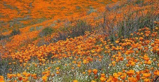Floração de papoulasleva multidão à pequena cidade da Califórnia