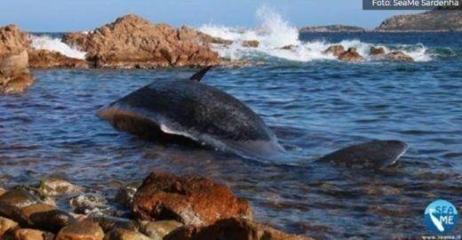 Baleia é achada morta com feto e 22 kg de plástico no estômago