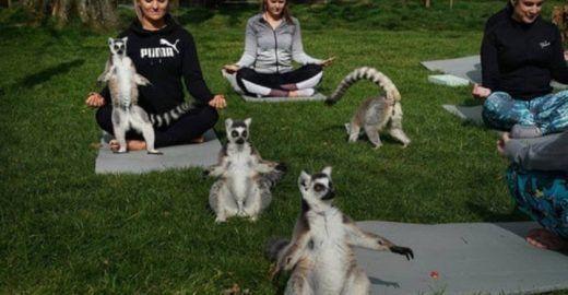 Hotel inova e oferece Yoga com a participação de lêmures