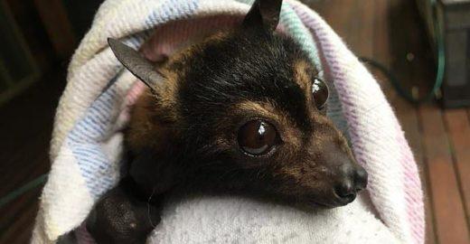 Australiana dedica a vida a resgatar e salvar a vida de morcegos