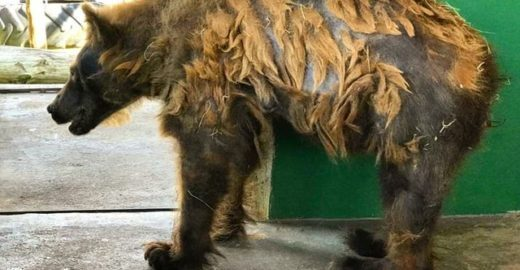 'Ursa mais triste do mundo' ganha peso e troca pelagem