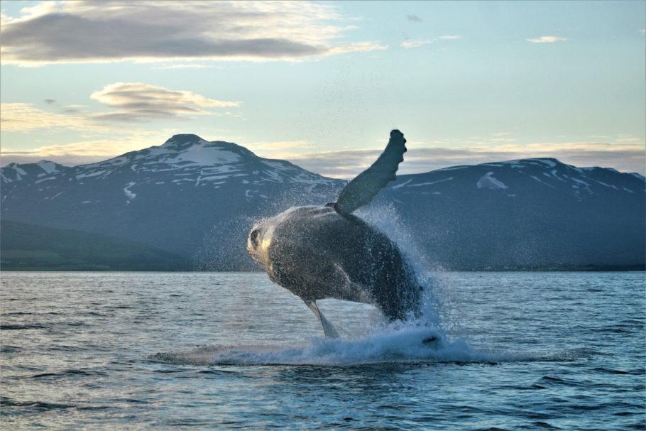 Observação de baleias em Akureyri, no norte da Islândia]