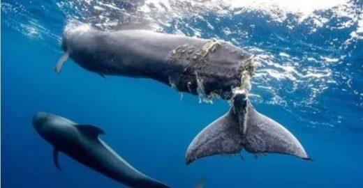 Golfinhos e baleias são mortos por barcos nas Ilhas Canárias