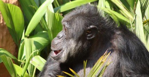 Chimpanzé é transferido de zoo de SP para santuário