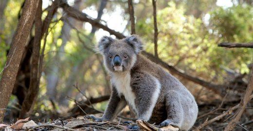 Especialistas anunciam que coalas estão funcionalmente extintos