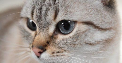Casos de toxoplasmose em SP provam que gato não é o vilão