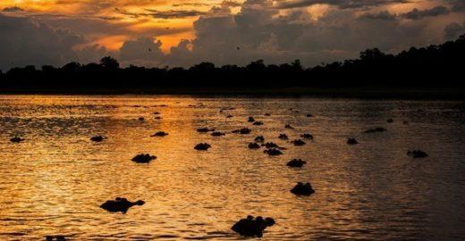 Jacaré-açu passará a ser morto para consumo humano no Amazonas