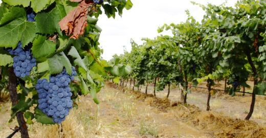 No sertão de Pernambuco, turista pode conhecer produção de vinhos