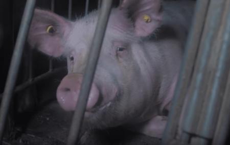 porco preso em gaiola