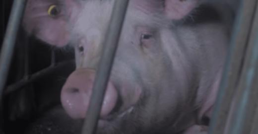 Porcos são abandonados no Canadá em meio a animais mortos