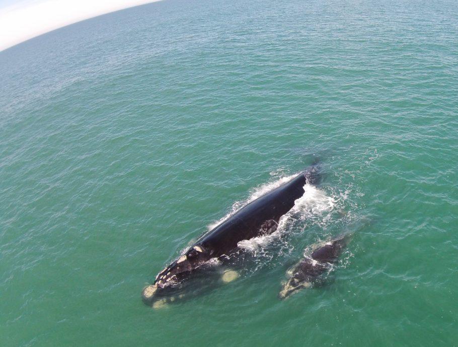 Baleia franca com o filhote é vista no litoral de Santa Catarina