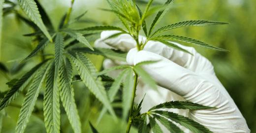 Anvisa faz consultas públicas sobre cultivo de maconha medicinal