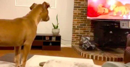 Pit bull adotada chora na parte mais triste de 'O Rei Leão'