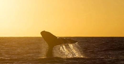 Baleias abrem temporada de reprodução e 'turismo' em Abrolhos
