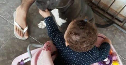 Bebê morre após mordida de pit bull que era da família