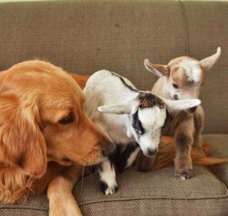 cachorra e cabras