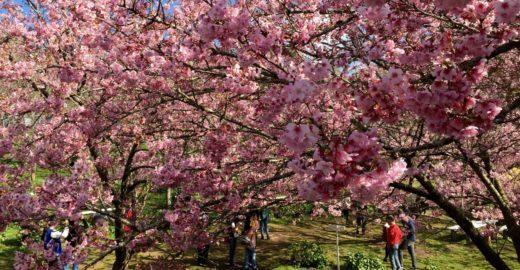 Festival das cerejeiras colore o inverno em Campos do Jordão (SP)