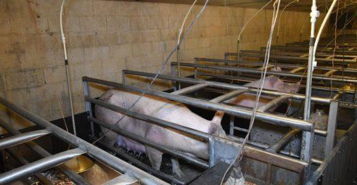 Porcas são forçadas a dar à luz em gaiolas minúsculas
