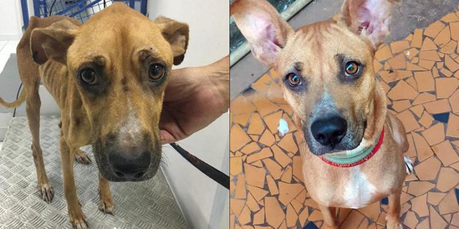 na primeira foto, cadela esquelética e, na segunda, recuperada e saudável