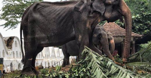 Festival esconde com roupas corpo desnutrido de elefanta idosa