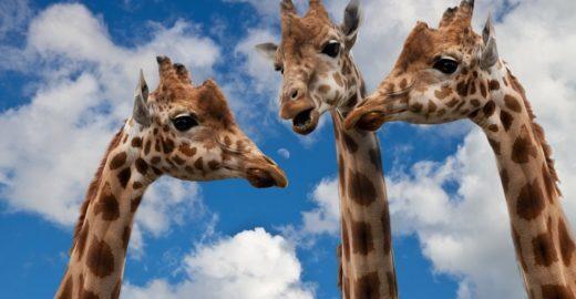 Especialistas alertam: girafas enfrentam uma extinção silenciosa