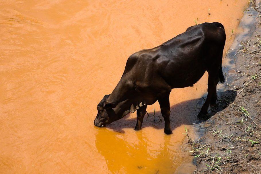 vaca bebe água em rio contaminado pelo desastre em Mariana