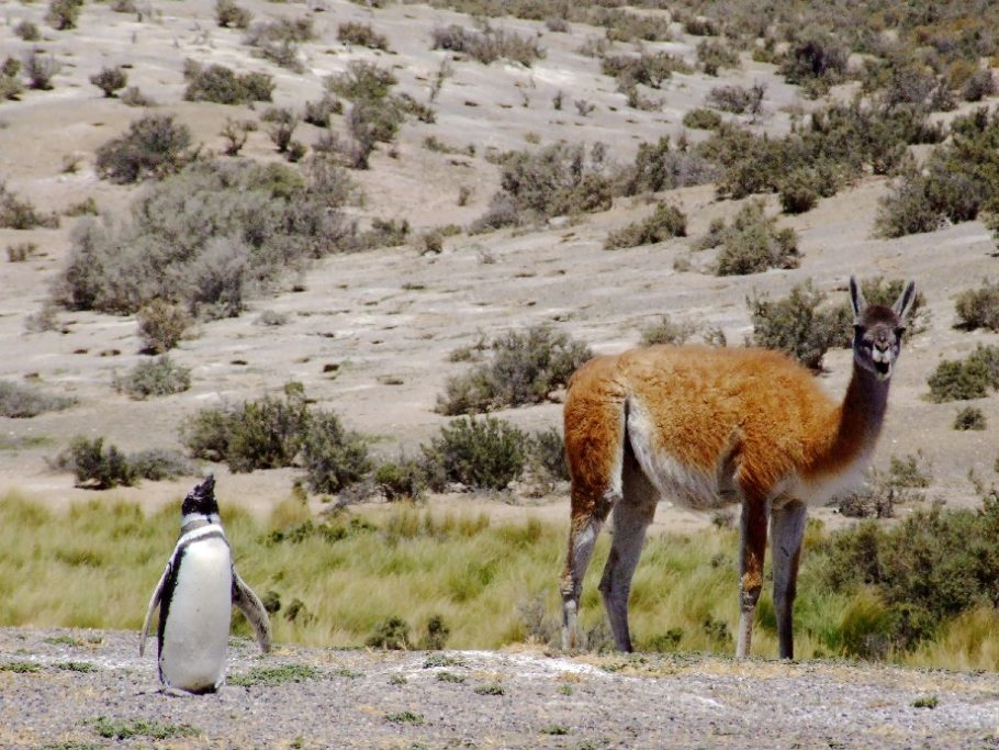 Pinguim e guanaco, em Punta Tombo, na Patagônia argentina