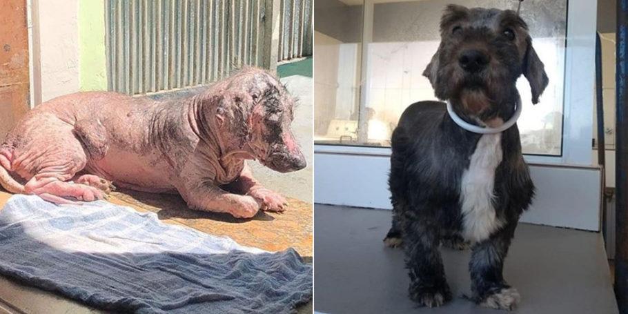 na primeira foto, cãozinho sem pelo nenhum e com a pele rosa exposta. Na segunda, ele todo peludo