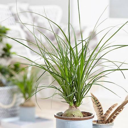 planta pata de elefante no vaso branco