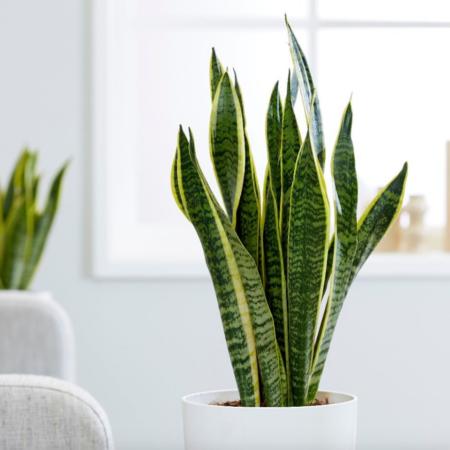 planta espada de são jorge no vaso branco