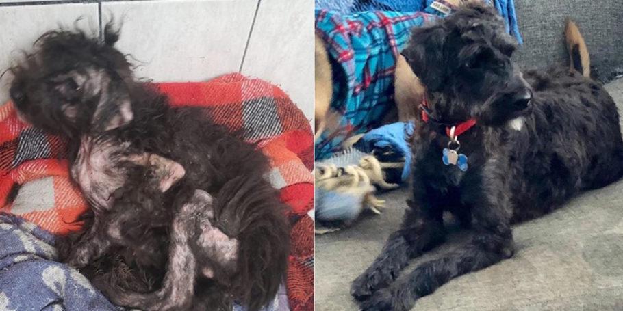 na primeira fotos cão magro com falhas no pelo e, na segunda, totalmente recuperado