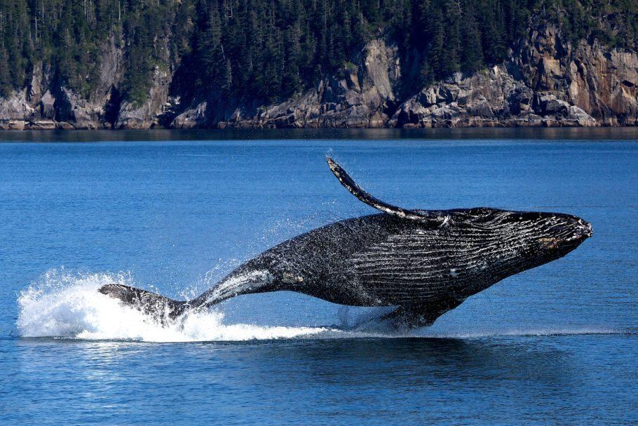 Baleias jubarte podem ser vistas em passeios que partem litoral da Bahia, de julho a novembro