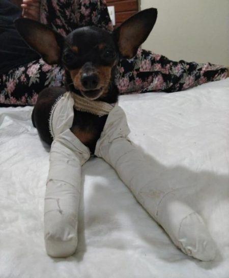cadela com patas enfaixadas