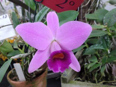 cattleyas brasileiras na exposição de orquídeas da liberdade